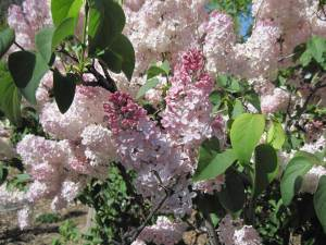 Lilacs at Denver Zoo Spring 2012