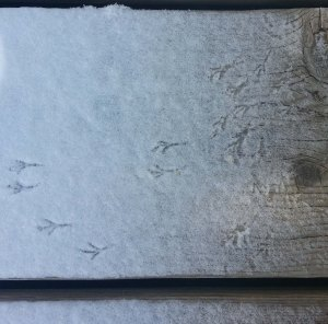 Bird tracks in the morning snow.