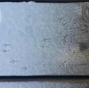 Bird tracks in the morning snow.