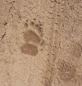Fore foot and Back Foot print from a Black Bear running.
