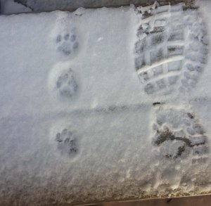 Kitty paw prints in the snow.
