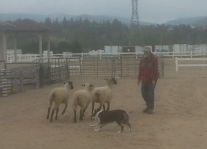 Sheep Dog Demo 1