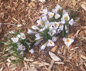 Crocus in bloom at the school.