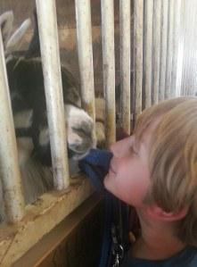Llamas - Nose to Nose