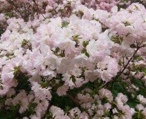 Fluffy white azaleas