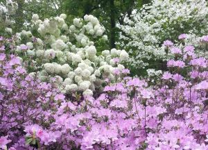 "White Snoballs and Purple Azaleas. These special azaleas are named ""Winterthur""."