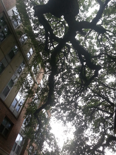 Looking up at Oak branches