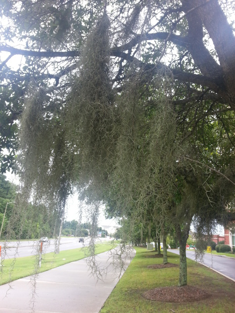 Spanish Moss along the sidewalk outside our hotel.