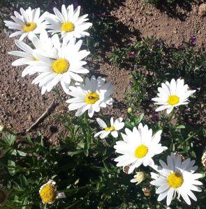 daisies-in-vals-garden